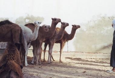 Tunisia Camel Market